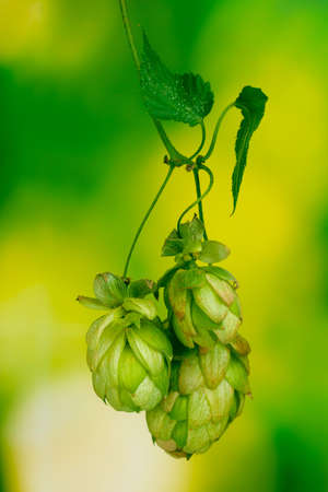 beautiful green hop on green background Stock Photo - 12021751