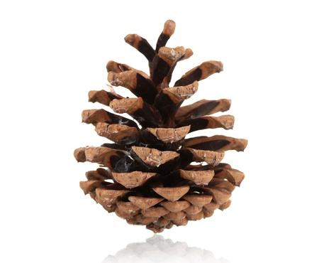 madera pino: Cono de pino hermoso aislado en blanco