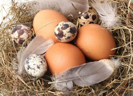 chicken and quail eggs in a nest closeup Stock Photo - 12098651