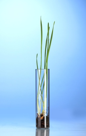 Green grass growing in tube on blue background photo
