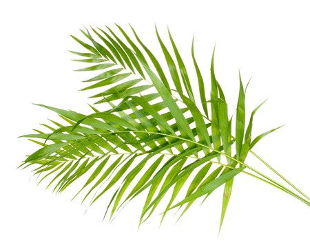 Beautiful palm leaves isolated on white photo