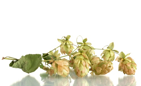 bitterness: beautiful green hop isolated on white