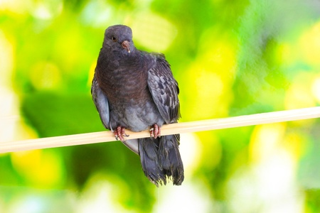 One grey pigeon sitting on green background Stock Photo - 12134240