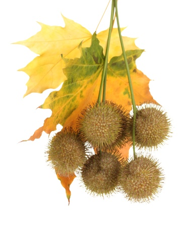 Balls of maple seeds and autumn  leaves isolated on white photo