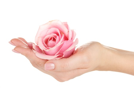 Pink rose with hands on white background photo