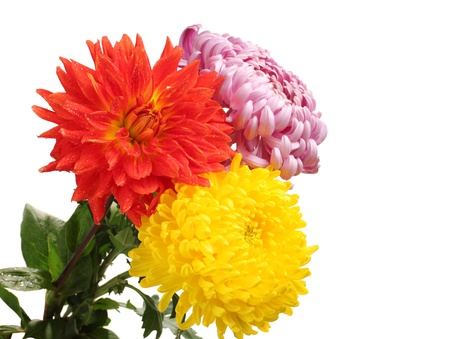 Colorful chrysanthemums isolated on white photo