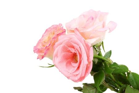 Three beautiful roses isolated on white photo