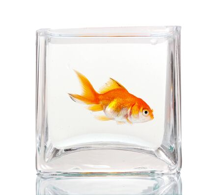 Goldfish in aquarium isolated on white photo