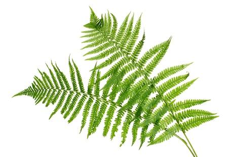 ferns: Dos hojas verdes de helechos aislado en blanco Foto de archivo
