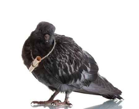 palomas volando: Un gray mensajero palomas aislado en blanco