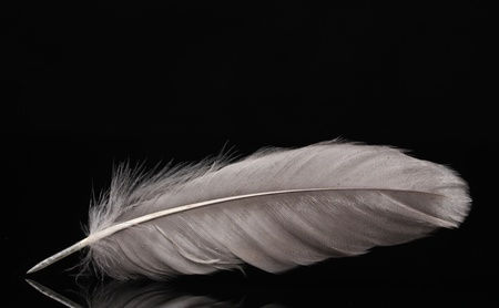 piuma bianca: bella penna su sfondo nero