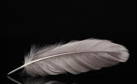 pluma blanca: pluma hermosa sobre fondo negro