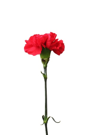 Red carnation isolated on white Stock Photo - 12438929