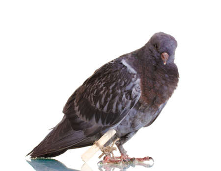 One grey messenger-pigeon isolated on white Stock Photo - 12664186