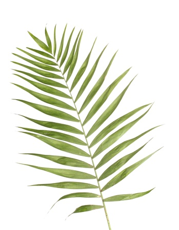 palm fruits: Beautiful palm leaf isolated on white