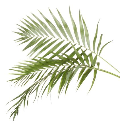 hamedoreya: Beautiful palm leaves isolated on white