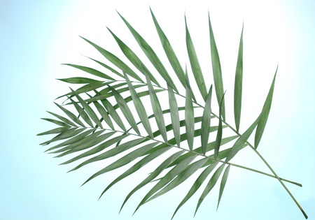 rabbet: Beautiful palm leaves on blue background