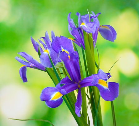 Beautiful bright irises on green background photo