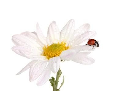 Ladybud sitting on chamomile flower isolated on white photo