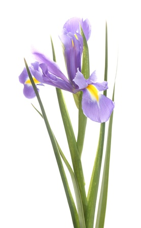 Beautiful iris isolated on white photo
