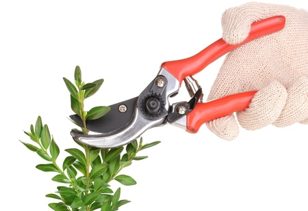 white trim: Trimming bush branch with pruner isolated on white