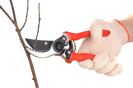 Trimming tree branch with pruner isolated on white Stock Photo - 13435289