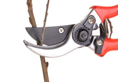 Trimming tree branch with pruner isolated on white photo