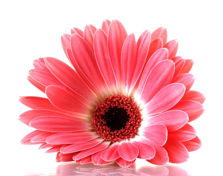 beautiful pink gerbera isolated on white  photo