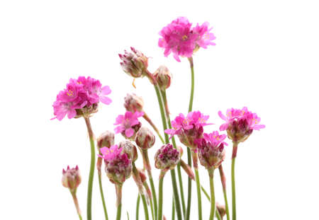 Pink flowers isolated on white photo