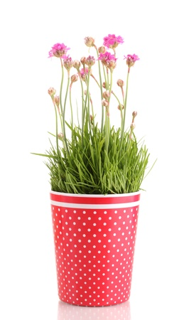 Pink flowers in pot isolated on white photo