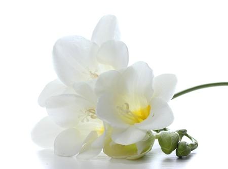 freesia: Beautiful freesia isolated on white