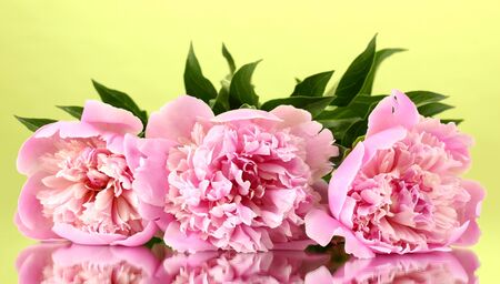 Three pink peonies on green background Stock Photo - 13580279