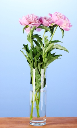 Three pink peonies in vase on wooden table on blue background photo