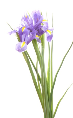 Beautiful bright irises isolated on white photo