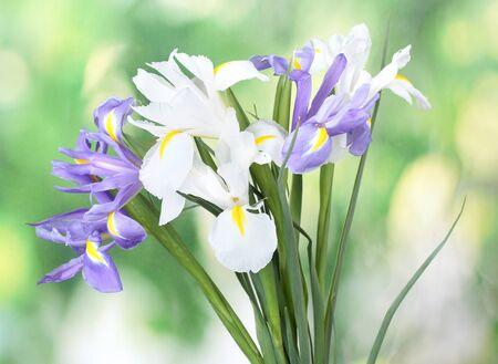 Beautiful bright irises on green background photo