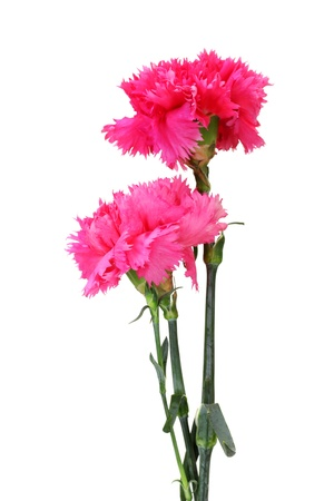 Beautiful pink carnations isolated on white Stock Photo - 13664762