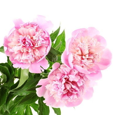 Three pink peonies isolated on white photo