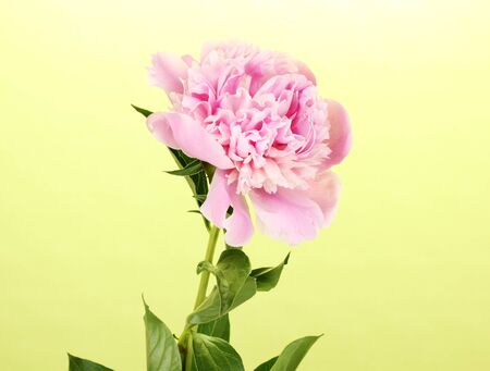 Pink peony on green background photo