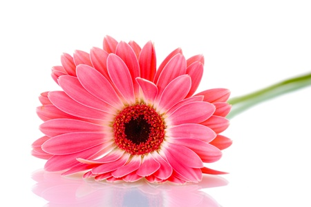 red gerber daisy: beautiful pink gerbera isolated on white