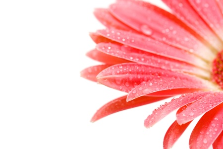 beautiful pink gerbera with drops isolated on white  photo