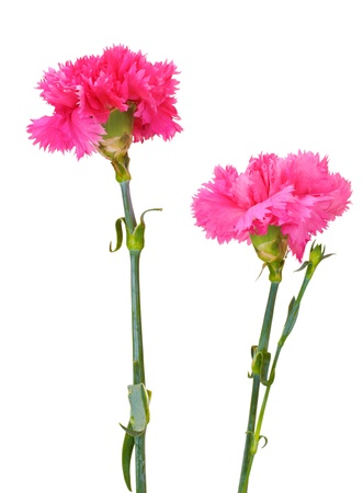 Beautiful pink carnations isolated on white Stock Photo - 13790899