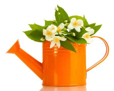 jessamine: bellissimi fiori di gelsomino con foglie in annaffiatoio isolato su bianco