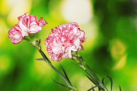 Beautiful carnations on green background Stock Photo - 13821205
