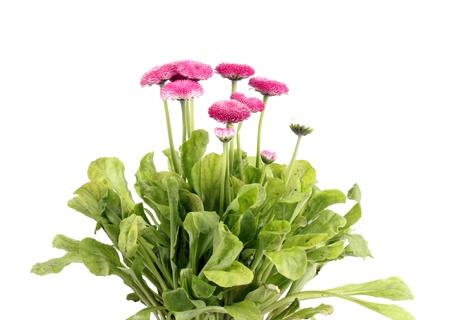 Daisy flowers isolated on white photo