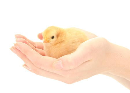 beautiful little chicken on hands isolated on the white photo