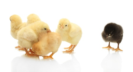 yellow and black little chickens isolated on the white Stock Photo - 13863031