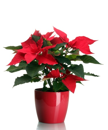 poinsettia: beautiful poinsettia in flowerpot isolated on white