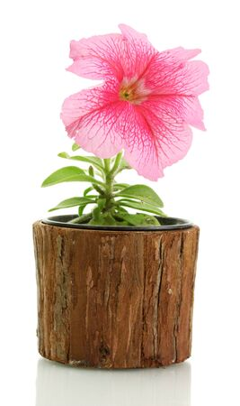 pink petunia in flowerpot isolated on white  photo