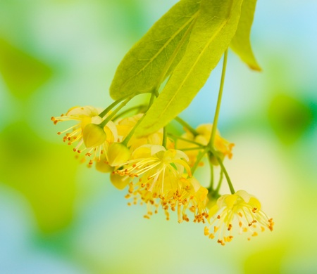Branch of linden flowers in garden photo