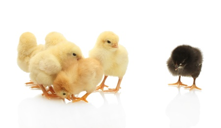 yellow and black little chickens isolated on the white Stock Photo - 13901289